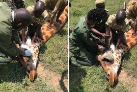 Kenya social media outrage saves giraffe with bone tumour