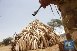 Kenya set to torch over 120 tonnes of ivory