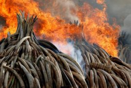Video:How Ivory tusks went up in flames at Nairobi National Park