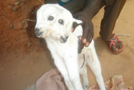 Goat With Two Heads Shocks Villagers In Kilifi