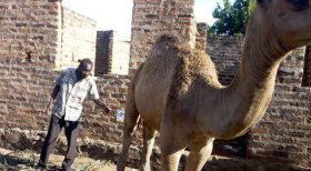 Villagers in Arubaine, Busia in Eastern Uganda have shunned visiting health facilities and instead drink camel urine