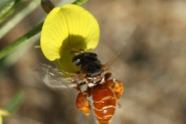 Kenyan Scientist Discovers New Species of Bees