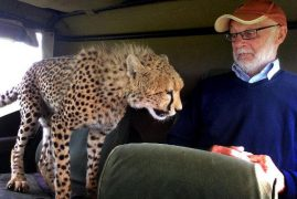 Tourist's Scary Moment At Maasai Mara As He's Swamped by Cheetahs