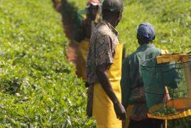 Kenya's Tea Export Surpasses that of India