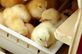 Kenya to lift ban on Uganda poultry imports