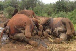 Shock As Five Elephants Are Killed In Tsavo
