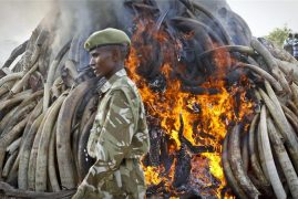 Kenya burns tonnes of ivory confiscated from poachers