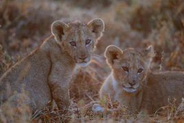 Kenya Sees Lion Cub Boom for the First Time in Decades