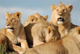 Lions Attack Kenyan Billionaire's Family Property