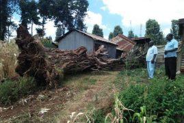 Fear, panic as Mugumo tree crashes down in Kerugoya