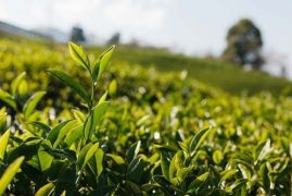 Kenya in talks to export tea to Chinese market